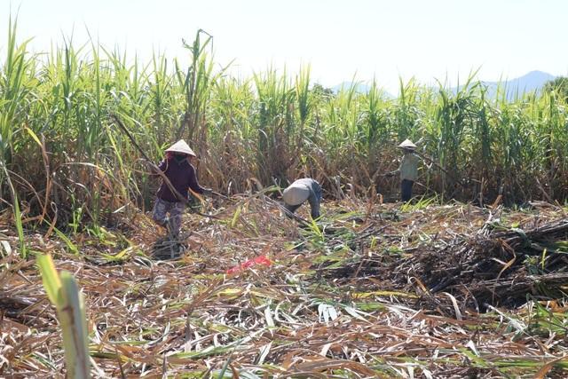 Thủ phủ mía Nam Trung Bộ suy thoái, người trồng tìm cách chạy trốn - 1