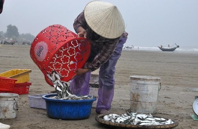 Kiếm tiền triệu mỗi ngày nhờ thu hoạch cá trích - 10