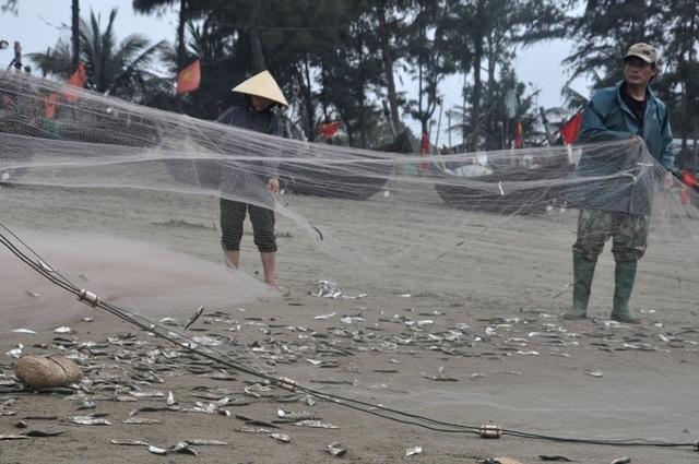 Kiếm tiền triệu mỗi ngày nhờ thu hoạch cá trích - 3