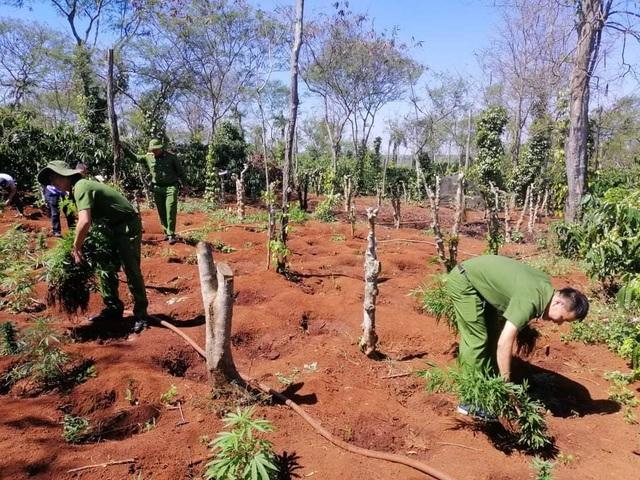Hai anh em ruột trồng 1.500 cây cần sa trong rẫy cà phê - 1