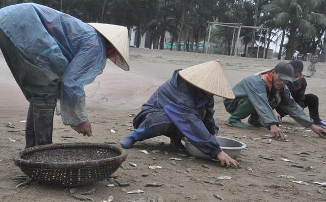 Kiếm tiền triệu mỗi ngày nhờ thu hoạch cá trích - 5
