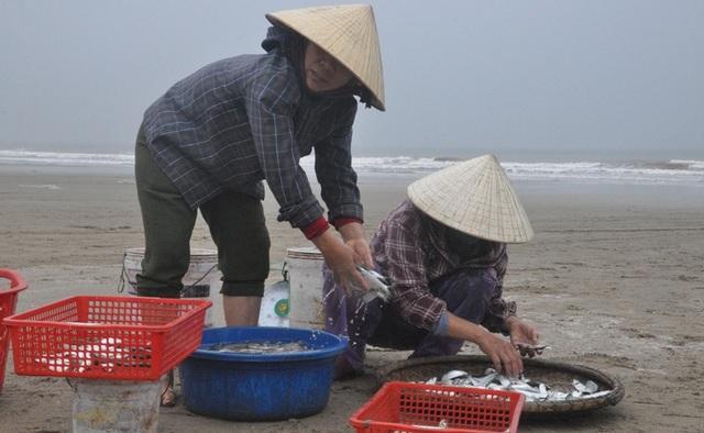 Kiếm tiền triệu mỗi ngày nhờ thu hoạch cá trích - 6