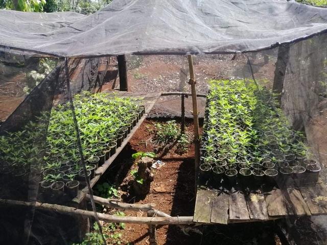 Hai anh em ruột trồng 1.500 cây cần sa trong rẫy cà phê - 2