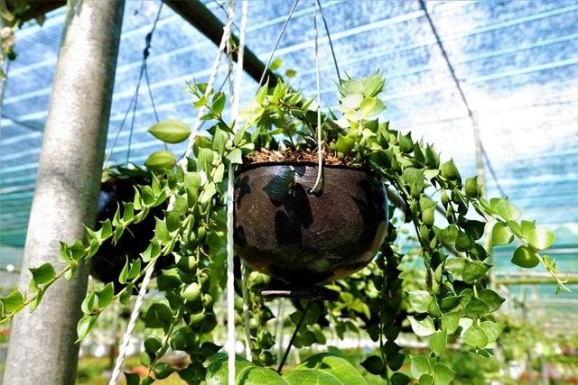 Chuyện về nữ nông dân tỷ phú làm giàu từ cây cảnh treo - 4