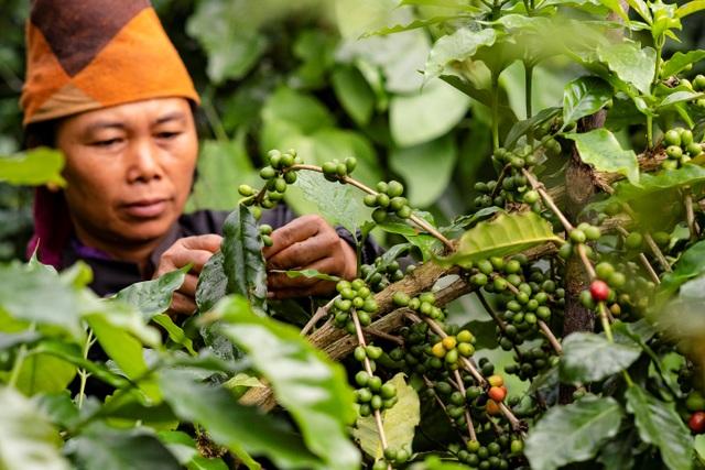 Những vùng trồng cà phê Arabica ngon nhất Việt Nam - 2