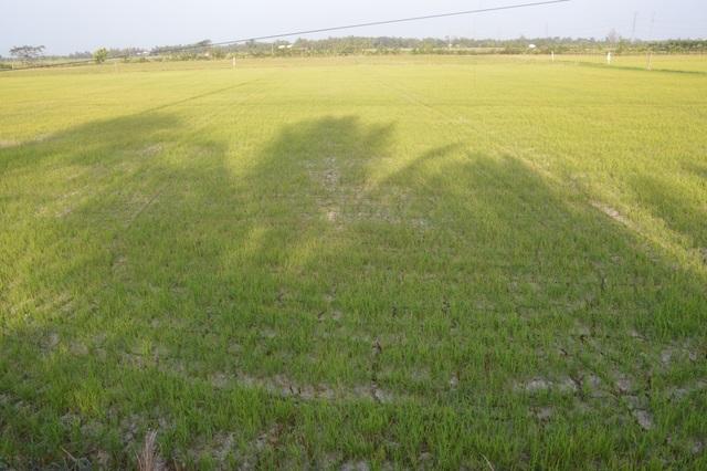 Nông dân Sóc Trăng vẫn đánh cược với trời bất chấp hạn mặn - 2