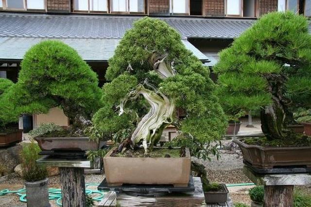 Nơi thỏa niềm đam mê của những người yêu bonsai - 4