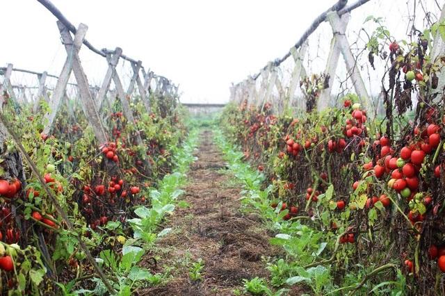 Cà chua rụng đỏ gốc, bắp cải nở bung, cho không ai lấy - 2