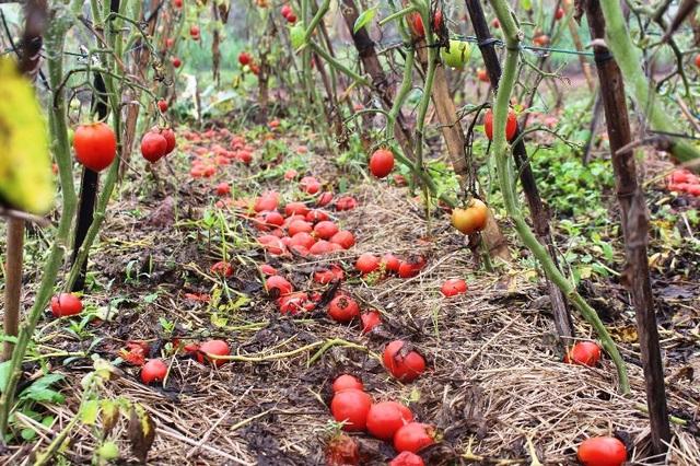 Cà chua rụng đỏ gốc, bắp cải nở bung, cho không ai lấy - 3