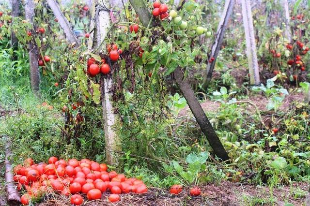 Cà chua rụng đỏ gốc, bắp cải nở bung, cho không ai lấy - 4