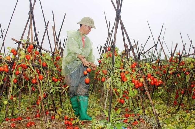 Cà chua rụng đỏ gốc, bắp cải nở bung, cho không ai lấy - 1