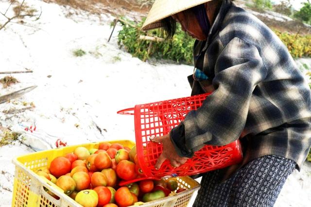 Cà chua được mùa mất giá, nông dân đứng ngồi không yên - 4