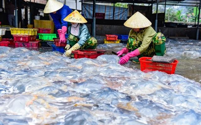 Vào mùa sứa biển, ngư dân kiếm 450.000 đồng/ngày - 3