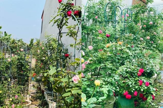 Vườn hồng trăm gốc nhập ngoại quý hiếm của mẹ đảm xinh đẹp ở Hà Giang - 1