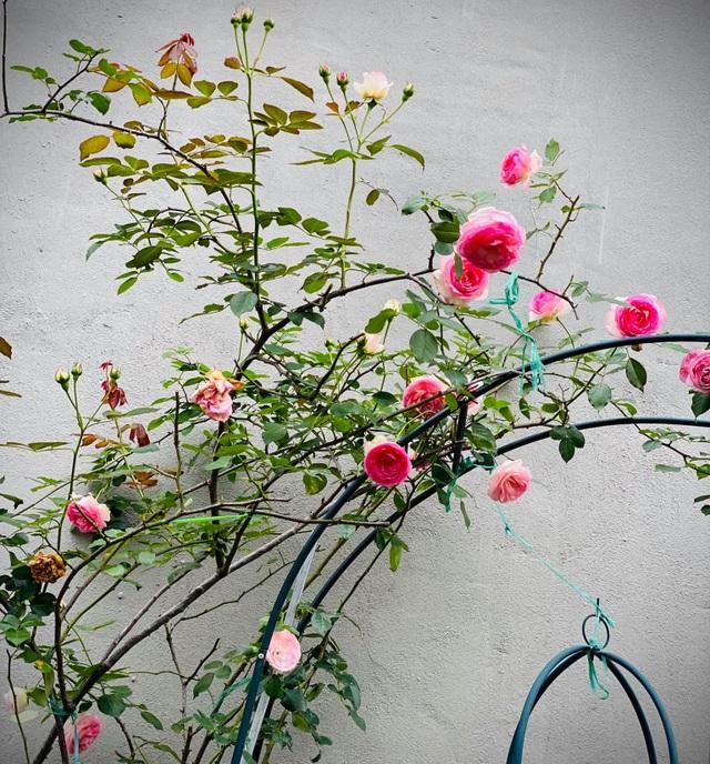Vườn hồng trăm gốc nhập ngoại quý hiếm của mẹ đảm xinh đẹp ở Hà Giang - 7