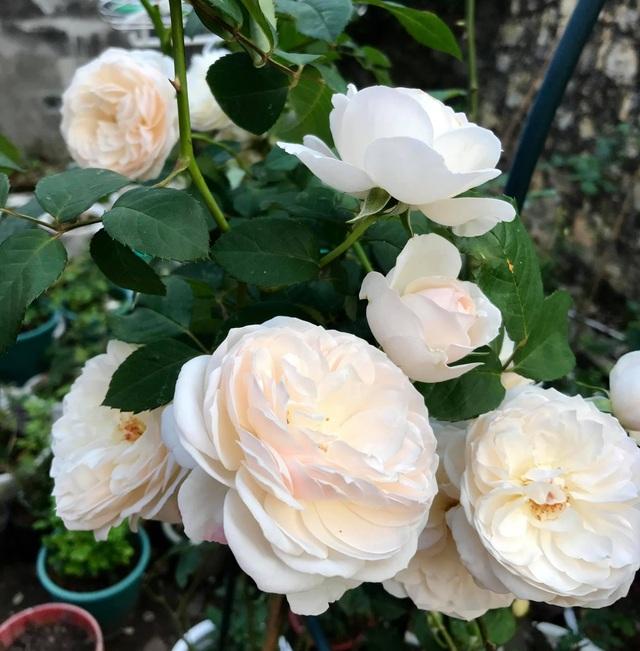Vườn hồng trăm gốc nhập ngoại quý hiếm của mẹ đảm xinh đẹp ở Hà Giang - 6