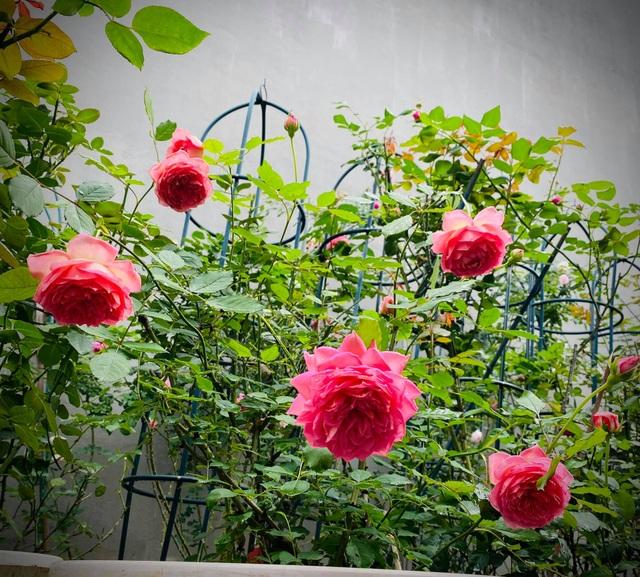 Vườn hồng trăm gốc nhập ngoại quý hiếm của mẹ đảm xinh đẹp ở Hà Giang - 9