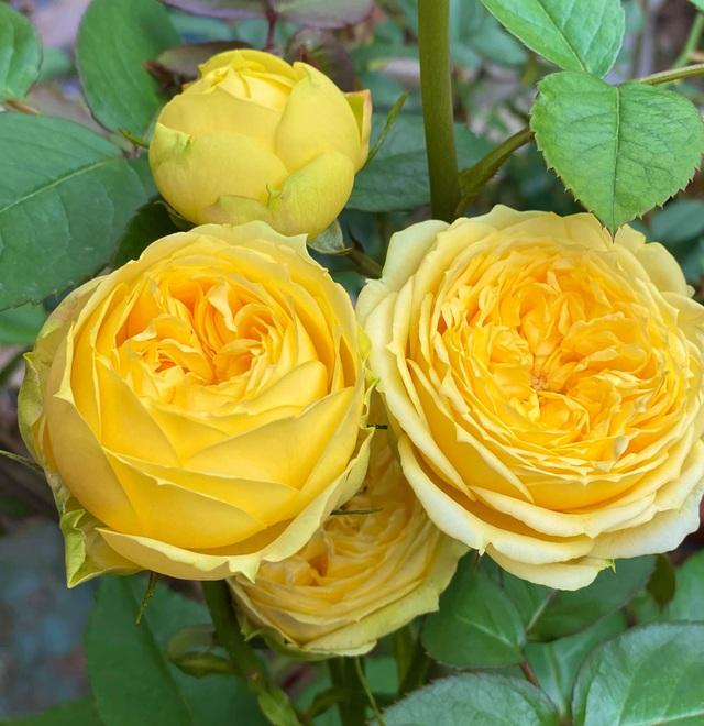 Vườn hồng trăm gốc nhập ngoại quý hiếm của mẹ đảm xinh đẹp ở Hà Giang - 3