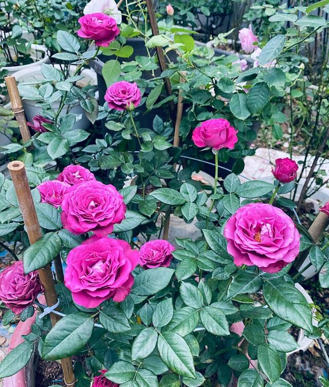 Vườn hồng trăm gốc nhập ngoại quý hiếm của mẹ đảm xinh đẹp ở Hà Giang - 5