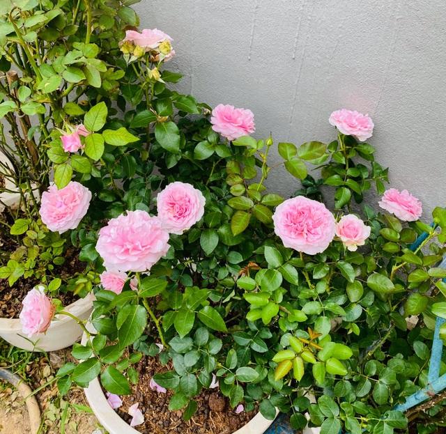 Vườn hồng trăm gốc nhập ngoại quý hiếm của mẹ đảm xinh đẹp ở Hà Giang - 8