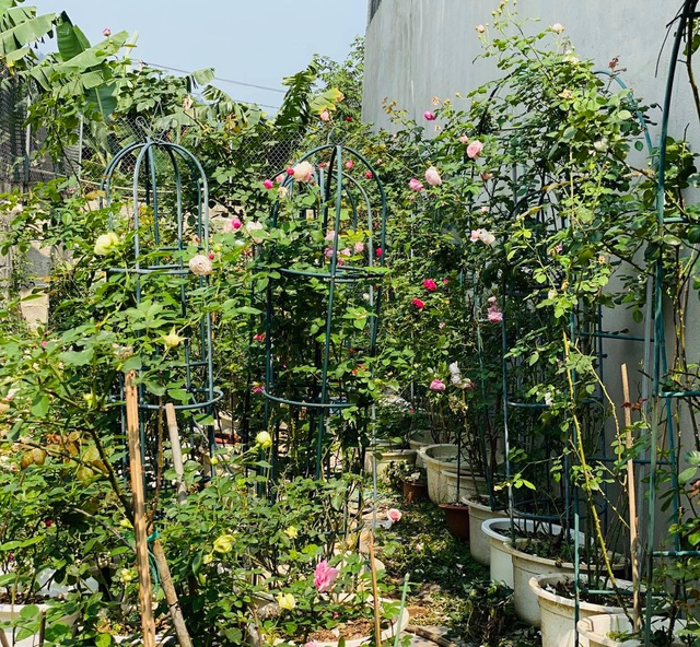 Vườn hồng trăm gốc nhập ngoại quý hiếm của mẹ đảm xinh đẹp ở Hà Giang - 4