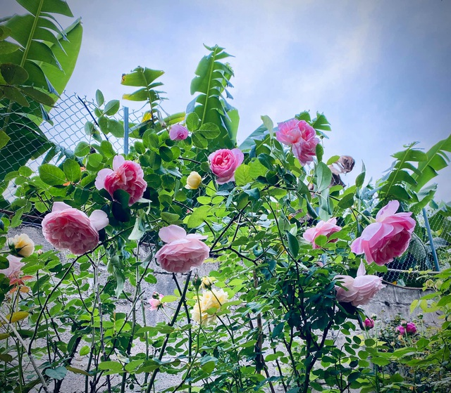 Vườn hồng trăm gốc nhập ngoại quý hiếm của mẹ đảm xinh đẹp ở Hà Giang - 2