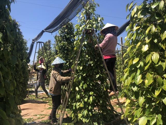 Giá tiêu tăng mạnh, chủ vườn rốt ráo thuê thêm người thu hoạch - 1