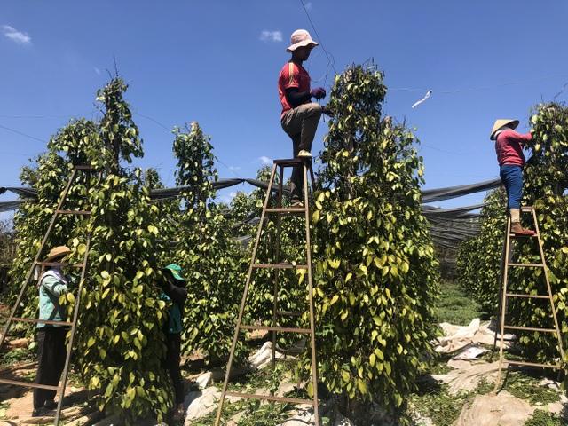 Giá tiêu tăng mạnh, chủ vườn rốt ráo thuê thêm người thu hoạch - 2