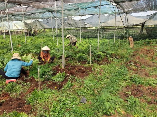 Thu trăm triệu mỗi tháng từ vườn dương xỉ có một không hai ở Đắk Nông - 4