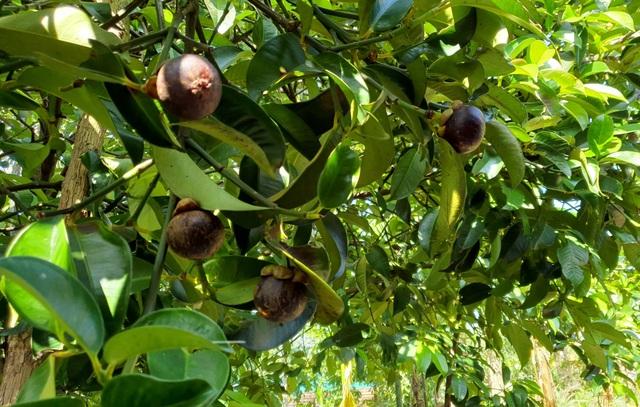 Loại cây xóa đói giảm nghèo có một không hai của người dân Quảng Nam - 2