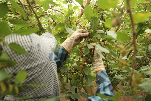 Hà Nội: Người trồng dâu tằm tất bật vào vụ thu hoạch lớn nhất trong năm - 8