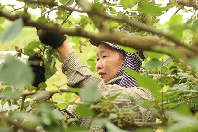 Hà Nội: Người trồng dâu tằm tất bật vào vụ thu hoạch lớn nhất trong năm - 9