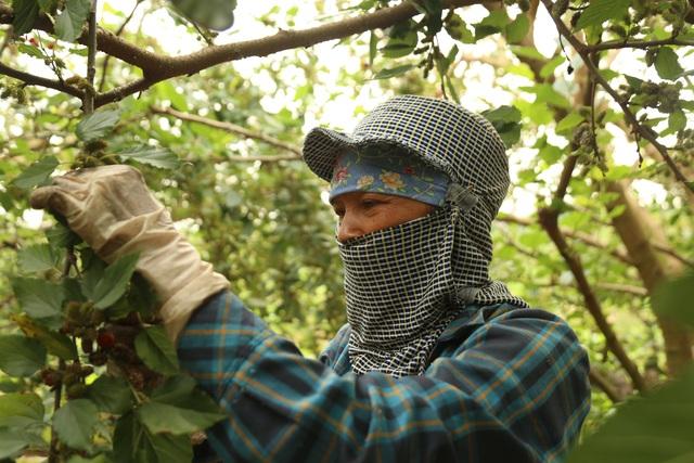 Hà Nội: Người trồng dâu tằm tất bật vào vụ thu hoạch lớn nhất trong năm - 1