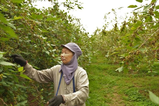 Hà Nội: Người trồng dâu tằm tất bật vào vụ thu hoạch lớn nhất trong năm - 3