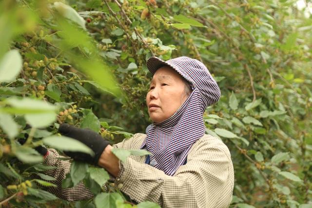 Hà Nội: Người trồng dâu tằm tất bật vào vụ thu hoạch lớn nhất trong năm - 7