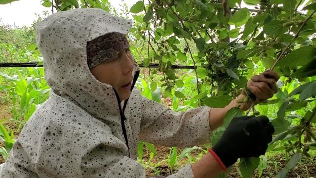 Hà Nội: Người trồng dâu tằm tất bật vào vụ thu hoạch lớn nhất trong năm - 4