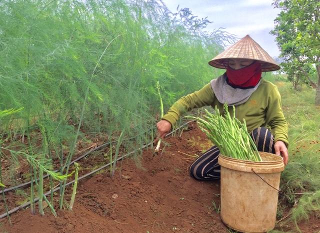 Gia đình chị Nguyễn Thị Tâm, thành viên HTX nông nghiệp xã Tây Hiếu thị xã Thái Hòa thu hoạch măng tây xanh.