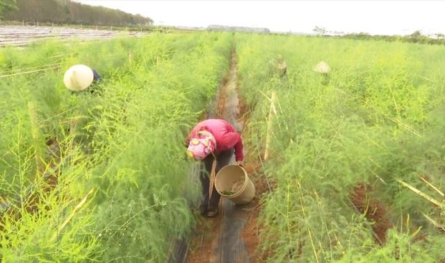 HTX nông nghiệp xã Tây Hiếu, thị xã Thái Hòa, Nghệ An - nơi đưa vào trồng thí điểm trên 4ha cây măng tây xanh từ đầu năm 2020.
