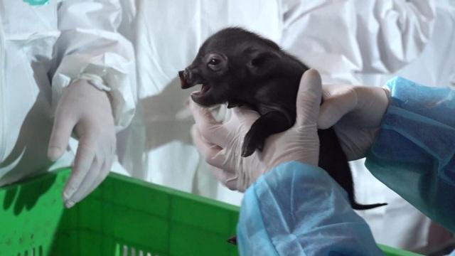 Việt Nam nhân bản thành công giống lợn tưởng đã tuyệt chủng từ mẩu mô tai - 1