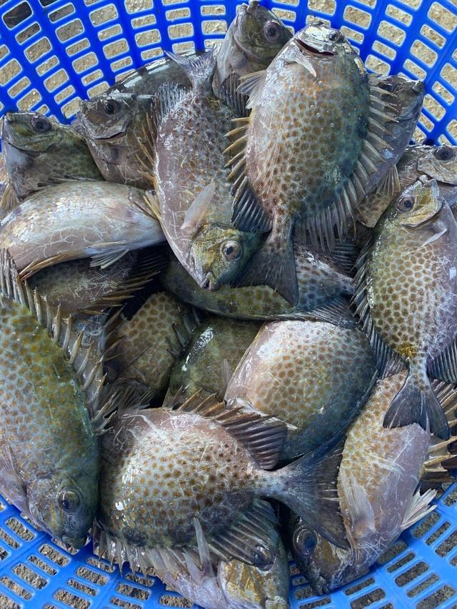 Bỏ nuôi tôm chuyển qua nuôi cá dìa, bác nông dân ở Đà Nẵng thu lãi tiền tỷ - 2