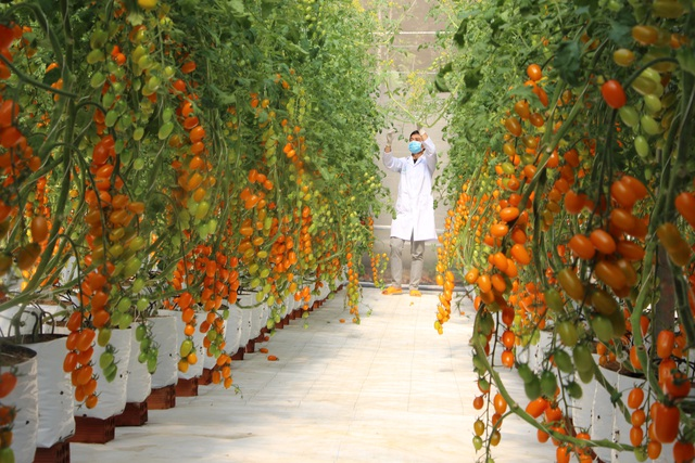 Cô giáo có thu nhập lý tưởng nhờ trồng cà chua công nghệ cao - 6