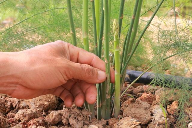Chủ xưởng cơ khí thu 200 triệu/năm bỏ nghề về trồng măng tây làm giàu - 5