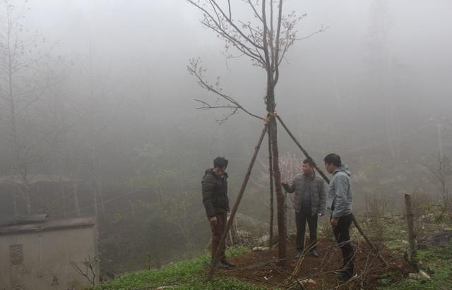 Thu giữ, trồng cứu hộ 4 cây mận rừng hoa đỏ ở Sa Pa - 2