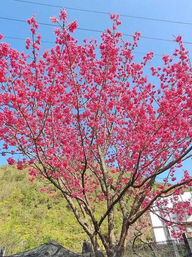Thu giữ, trồng cứu hộ 4 cây mận rừng hoa đỏ ở Sa Pa - 1