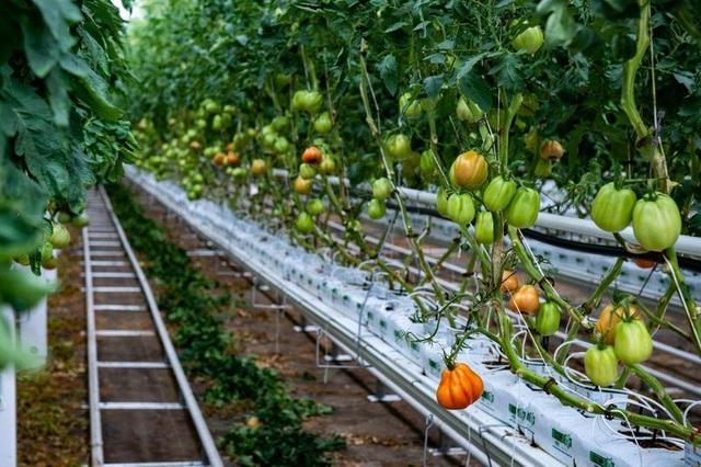 Choáng vườn sân thượng rộng bằng 3 sân bóng, cung cấp cả tấn rau mỗi tuần - 5