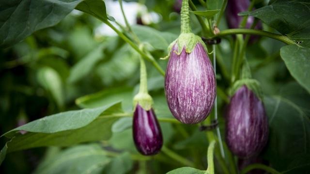 Choáng vườn sân thượng rộng bằng 3 sân bóng, cung cấp cả tấn rau mỗi tuần - 6