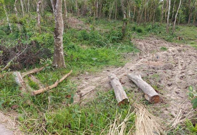Chặt nhầm cây dân trồng trong rừng đem bán? - 3