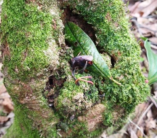 Đông trùng hạ thảo bọ xít vừa được tìm thấy trong những cánh rừng già tại Vườn quốc gia Hoàng Liên, ở vùng núi có độ cao 2.200m so với mực nước biển.