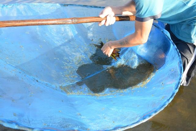 Quảng Nam: Kiếm tiền từ cách bắt tép độc chiêu ở hồ Phú Ninh - 6
