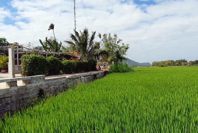 Phú Yên: Rộ tình trạng thu gom đất lúa ở vùng ven thành phố - 2